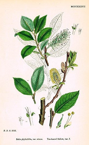 "Sowerby's English Botany - ""TEA-LEAVED SALLOW VAR. B"" - Hand-Colored Litho - 1873"