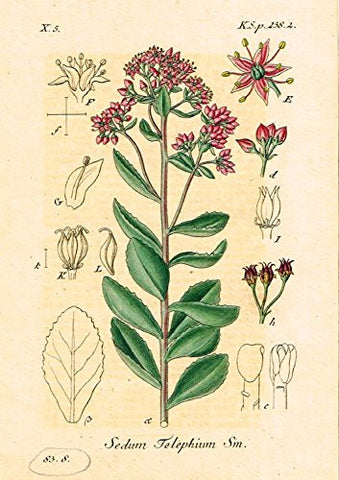 "Strum's Flowers - ""SEDUM TELEPHIUM"" - Miniature Hand-Colored Engraving - 1841"