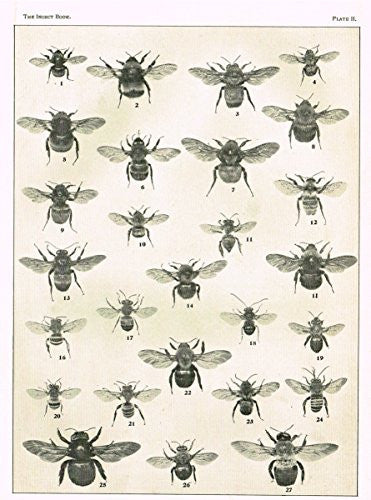 "Howard's The Insect Book - ""BEES - PLATE II"" - Lithograph - 1902"