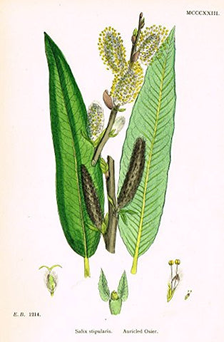 "Sowerby's English Botany - ""AURICLED OSIER"" - Hand-Colored Litho - 1873"