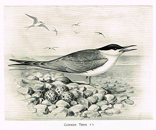 "Frowhawk's British Birds - ""COMMON TERN"" - Lithograph - 1896"