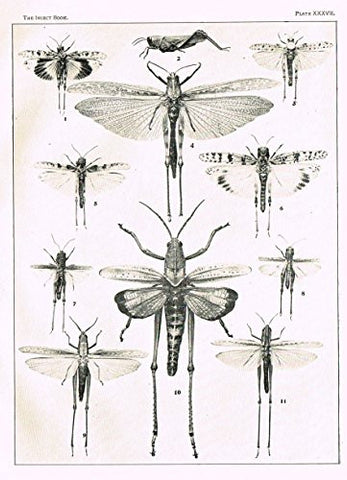 Howard's The Insect Book - SHORT-HORNED GRASSHOPPERS - PLATE XXXVII - Lithograph - 1902