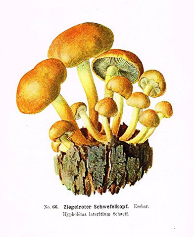 Schmalfub's Mushrooms - ZIEGELROTER SCHWEFELKOPF - Coloured Lithograph - 1897