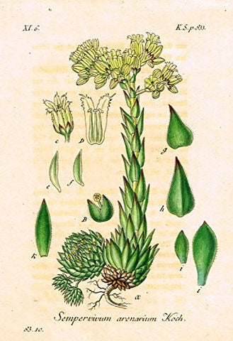 "Strum's Flowers - ""SEMPERVIVUM ARENARIUM"" - Miniature Hand-Colored Engraving - 1841"