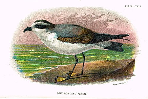 "Lloyd's Natural History - ""WHITE-BELLIED PETRAL"" - Pl. CXId - Chromolithograph - 1896"