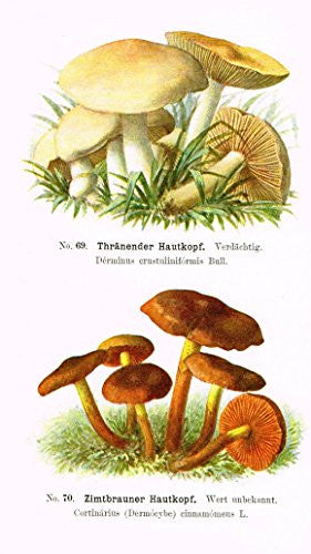 Schmalfub's Mushrooms - THRANENDER HAUTKOPF - Coloured Lithograph - 1897