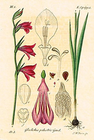 "Strum's Flowers - ""GLADIOLUS PALUSTRIS GAUD"" - Miniature Hand-Colored Engraving - 1841"