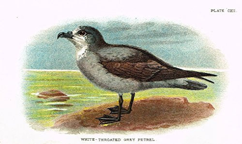"Lloyd's Natural History - ""WHITE-THROATED GREY PETREL"" - Pl. CXII - Chromolithograph - 1896"