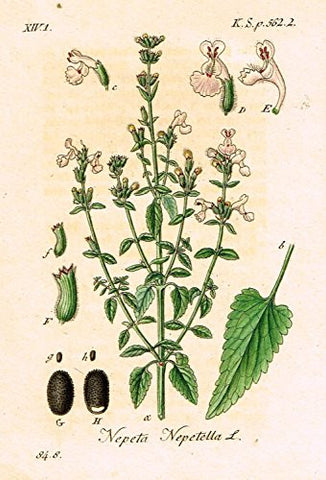 "Strum's Flowers - ""NEPETA NEPETELLA"" - Miniature Hand-Colored Engraving - 1841"