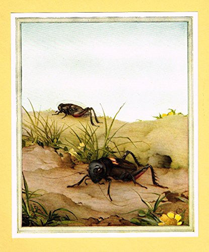 "Detmold's Fabre's Book of Insects - ""The Field Cricket"" - Lithograph - 1921"