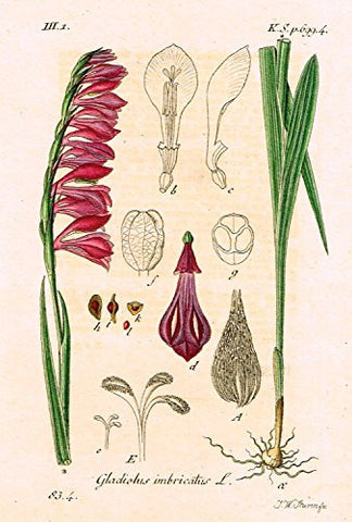 "Strum's Flowers - ""GLADIOLUS IMBRIDATUS"" - Miniature Hand-Colored Engraving - 1841"