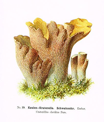 Schmalfub's Mushrooms - KEULEN KRATERELLE - Coloured Lithograph - 1897