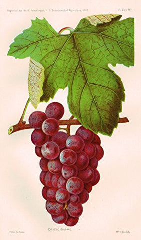 Pomologist's Report - USDA - CRITIC GRAPE - Chromolithograph - 1893