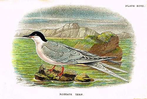 "Lloyd's Natural History - ""ROSEATE TERN"" - Pl. XCVII - Chromolithograph - 1896"