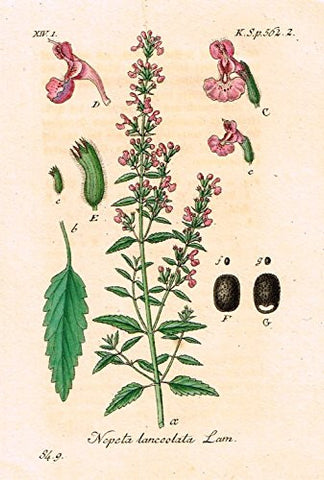 "Strum's Flowers - ""NEPETA LANCOLATA"" - Miniature Hand-Colored Engraving - 1841"