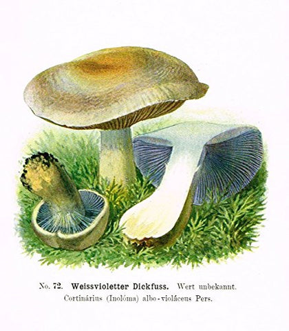 Schmalfub's Mushrooms - WEISSVIOLETTER DICKFUSS - Coloured Lithograph - 1897