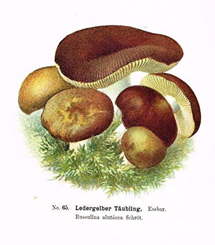 Schmalfub's Mushrooms - LEDERGELBER TAUBLING' - Coloured Lithograph - 1897