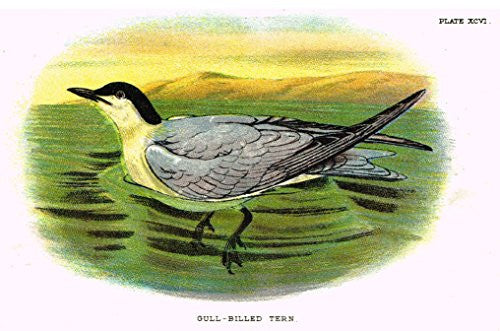"Lloyd's Natural History - ""GULL-BILLED TERN"" - Pl. XCVI - Chromolithograph - 1896"