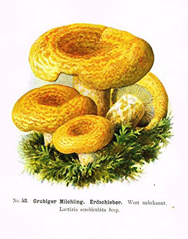 Schmalfub's Mushrooms - GRUBIGER MILCHLING - Coloured Lithograph - 1897
