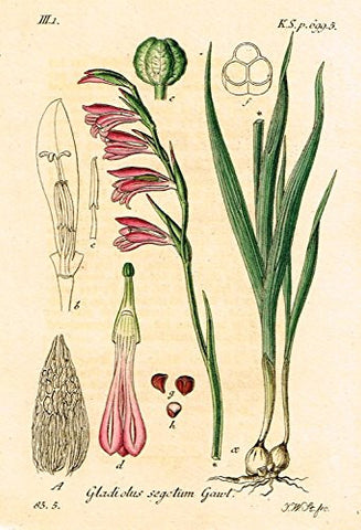 "Strum's Flowers - ""GLADIOLUS SEGETUM GAWL"" - Miniature Hand-Colored Engraving - 1841"