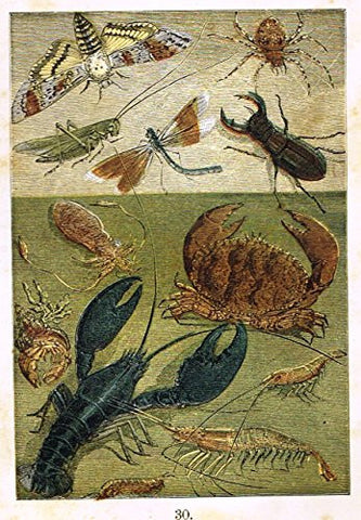 "Buffon's Sealife - ""CUTTLEFISH, HERMIT CRAB, SHRIMP LOBSTER ETC."" - Chromolithograph - 1869"