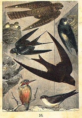 "Buffon's Birds - ""GOATSUCKER, SWALLOW, MARTIN, SWIFT ETC."" - Chromolithograph - 1869"