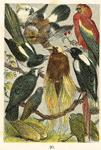 "Buffon's Birds - ""LOVE BIRDS, CROW, ROOK, BIRD OF PARADISE ETC."" - Chromolithograph - 1869"