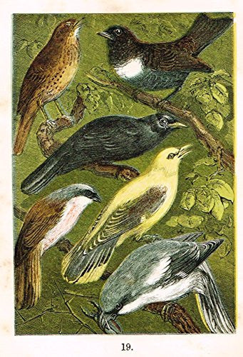 "Buffon's Birds - ""THRUSH, OUZEL, BLACKBIRD, SHRIKE ETC."" - Chromolithograph - 1869"