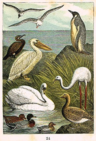 "Buffon's Birds - ""GULL, PENGUIN, CORMORANT, PELICAN, TEAL ETC."" - Chromolithograph - 1869"