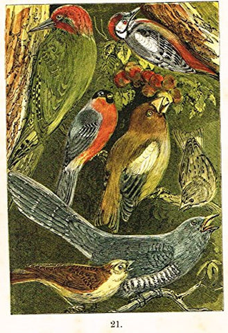 "Buffon's Birds - ""WOODPECKER, BULLFINCH, CUCKOO, SISKIN ETC."" - Chromolithograph - 1869"