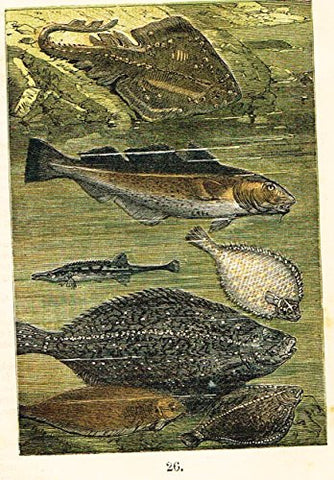 "Buffon's Fish - ""SKATE, COD, STICKLEFISH, PLAICE, TURBOT, ETC."" - Chromolithograph - 1869"