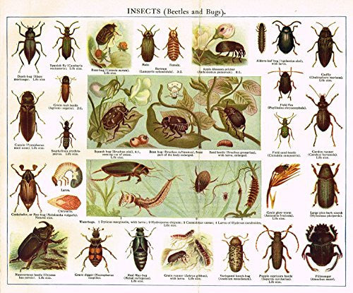 "MacCracken's University Encyclopedia - ""INSECTS (BEETLES & BUGS)"" - Lithograph - 1902"