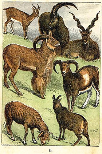 "Buffon's Fish - ""GOAT, MAKHOOR, MUFFLON, SHEEP, EWE ETC."" - Chromolithograph - 1869"