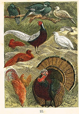 "Buffon's Birds - ""DOVE, PHEASANT, PTARMIGAN, TURKEY ETC."" - Chromolithograph - 1869"