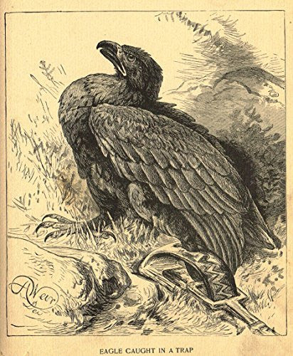 Roe's Illustrated Book of Animals - EAGLE CAUGHT IN A TRAP - Woodcut - 1892