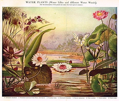 "MacCracken's University Encyclopedia - ""WATER PLANTS (LILLIES & WEEDS)"" - Lithograph - 1902"