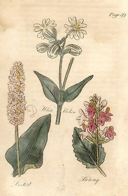 1756 - Hand-Colored from Culpeper's Herbal (WHITE BEHAN)