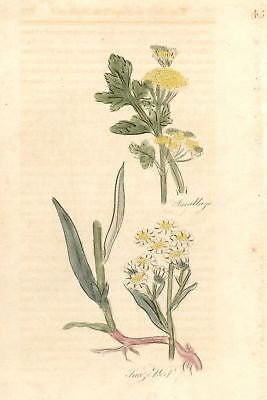 1756 - Hand-Colored from Culpeper's Herbal (SNEEZE WORT)