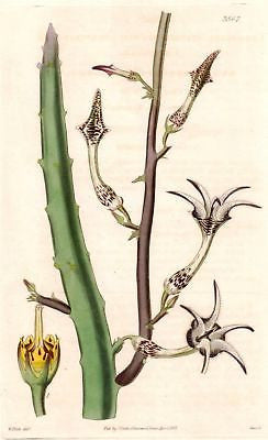 "1837 - CURTIS FLOWER from ""Botanical Magazine #3567 - Hand Colored"