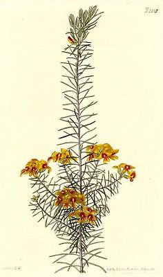 "1821 - CURTIS FLOWER from ""Botanical Magazine #2247 - Hand Colored"