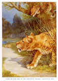 """Animal Stories""  by Velvin - 1925 - ""LION & LEOPARD"" - Sandtique-Rare-Prints and Maps"