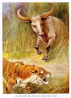 """Animal Stories""  by Velvin - 1925 - ""BUFFALO & TIGER"" - Sandtique-Rare-Prints and Maps"