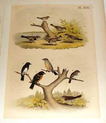 "Studer's Birds - 1878 - ""BLACK HEADED GROSBEAK"" - Chromolithograph"