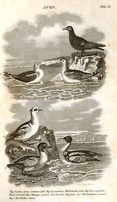 """Animated Nature"" by Goldsmith -1838- BIRDS - MERGANSER - Sandtique-Rare-Prints and Maps"