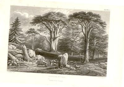"""CONIFERS OR PINE "" by Rhind - 1855 - VEGETABLE KINGDOM"