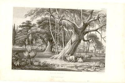 """BANYAN BOABOB "" by Rhind - 1855 - VEGETABLE KINGDOM"