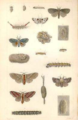 """CATERPILLARS"" by Harris - 1862 -from INJURIOUS INSECTS"