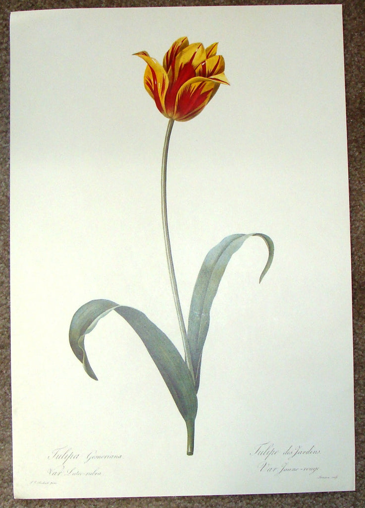 "Redoute Botanical Print -  ""TULIPA GESNERIANA"" (Luteo-Rubra) - Offset Lithograph - 1980"