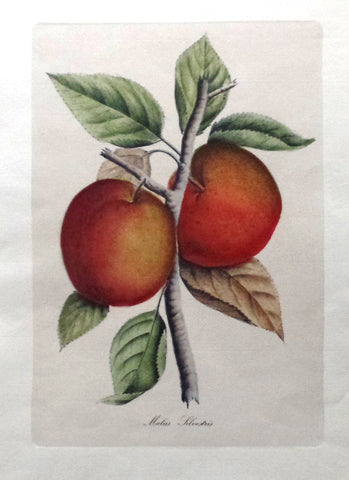 "Flower Print - c1960 - ""MALUS SILVESTRIS"" - Large Hand-Colored Botanical Engraving"