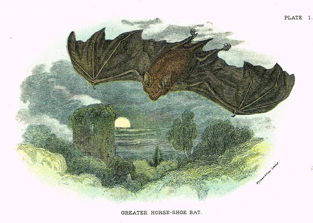 "Lydekker's British Mammalia - ""GREATER HORSE-SHOE BAT"" - Chromolithograph - 1896"